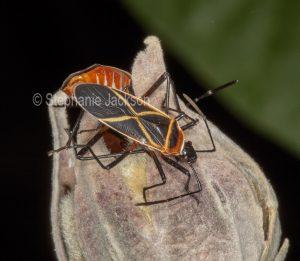 Cotton stainer bugs, Dysdercus decussatus, mating on dead flower of cotton tree / hibiscus in Queensland Australia