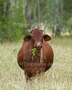 Cow with mouthful of leaves and grass in a paddock in central Queensland Australia.