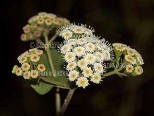 Flowers of Crofton Weed, Ageratina adenophora, on dark background, in NSW Australia