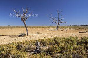 Dead trees on arid outback plains in Culgoa Floodplains National Park in Queensland Australia
