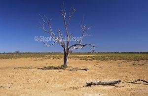 Solitary dead tree on arid outback plains in Culgoa Floodplains National Park in Queensland Australia