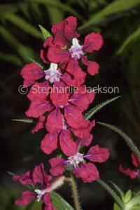 Red flowers of perennial plant Cuphea llavea 'Vienco' on dark background
