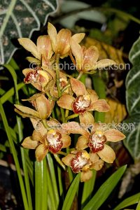 Amber yellow flowers of orchid Cymbidium Winter Beauty x Tethys x Eight Carat with raindrops on petals