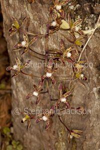 Small brown flowers of orchid Cymbidium caniculatum, Black Orchid, an Australian native species.