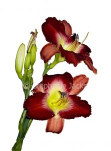 Dark red and yellow flowers of daylily, Hemerocallis cultivar on white background