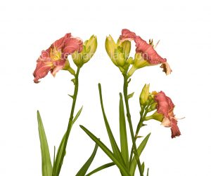 Cluster of salmon pink flowers of daylily, Hemerocallis 'Lois Hall' on white background