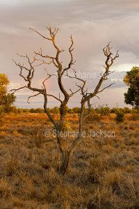 Dead tree in the outback, Central Australia