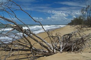 Dead trees, victims of beach erosion and the rising sea levels of climate change, on coast of Queensland Australia