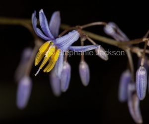 Blue flowers of Dianella caerulea, Paroo Lily, on black background in outback Queensland Australia.