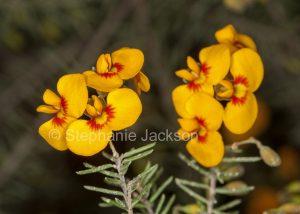Flowers of Dillwynia floribunda, Showy Parrot Pea, at Crowdy Bay National Park in NSW Australia