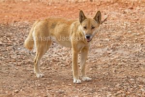 Australian dingo (Canus lupus), a native dog, at an outback camping area in the Northern Territory, Australia.
