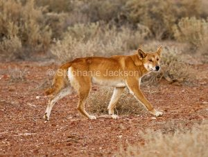 Australian dingo (Canus lupus), a native dog, near Lake Eyre in northern / outback South Australia.