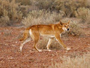 Australian dingo (Canus lupus), a native dog, near Lake Eyre in northern / outback South Australia.