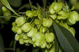 Seed capsules of Dodonea viscosa, Hop Bush in Myall Lakes National Park, NSW Australia.