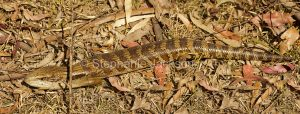 Eastern blue tongue lizard, Tiliqua scincoides, on forest floor in Barakee National Park in NSW Australia
