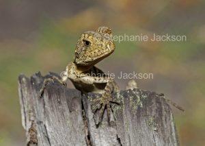 Young lizard, eastern water dragon, Intellagama lesueurii, on weathered stump in Queensland Australia.