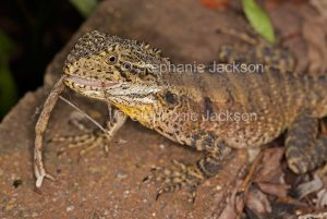 Lizard, eastern water dragon, Intellagama lesueurii, eating a stick insect in a garden in Queensland Australia.