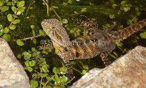 Young lizard, an eastern water dragon, Intellagama lesueurii, shedding its skin in a garden pond in Queensland Australia.