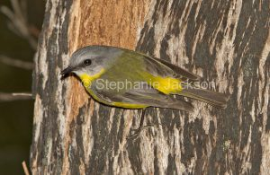 Eastern Yellow Robin, Eopsaltria australis, on a tree trunk in its typical hunting pose, in Wallingat National Park in NSW Australia.