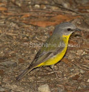 Eastern Yellow Robin, Eopsaltria australis, on the ground, in Wallingat National Park in NSW Australia.
