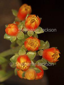 Beautiful vivid orange flowers and light green leaves of Echeveria 'Dondo', drought tolerant succulent plant on dark background