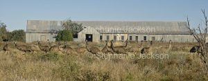 Flock of emus beside historic shearing shed in Australian outback in Sturt National Park in NSW Australia