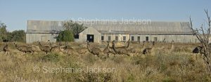 A flock of emus near the historic shearing shed at Mount Wood station in Sturt National Park in outback NSW Australia.