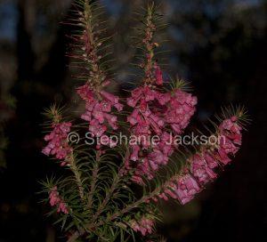 Flowers of Epacris impressa, Common Heath, in the Grampians National Park, Victoria Australia