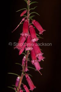 Red flowers of Epacris impressa, Common Heath, on dark background, Grampians National Park, Victoria Australia