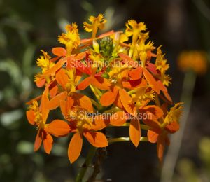 Cluster of orange flowers of Epidendrum ibaguense, Crucifix Orchid.