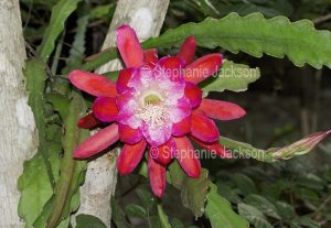Large and beautiful vivid red flower and green stems of Epiphyllum cactus, a climbing species
