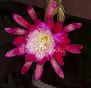 Bright red epiphyllum flower, Christmas Cactus on dark background