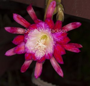 Large and beautiful vivid red flower with white centre of Epiphyllum cactus, on dark background