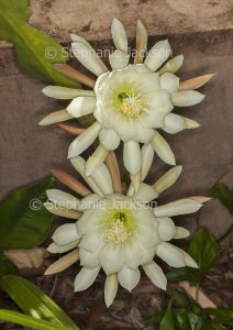 White flowers of Epiphyllum flowers, a species that's commonly known as a Christmas Cactus.