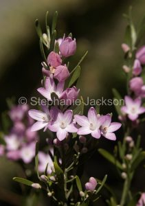 Flowers of Eriostemon australasius, Pink Wax Flower, in Myall Lakes National Park, NSW Australia