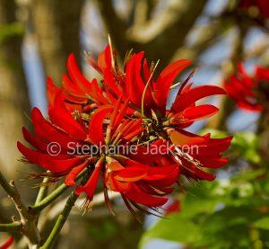 Vivid red flowers of Erythrina bidwillii, Coral Tree.