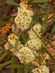 Mallee flowers