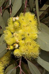 Cluster of yellow flowers of Eucalyptus woodwardii, Lemon-flowered Gum Tree.