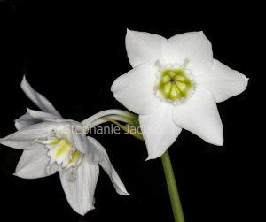 White flowers of Eucaris amazonica syn. grandiflora, bulbous plant, Eucaris Lily / Amazonian Lily on black background