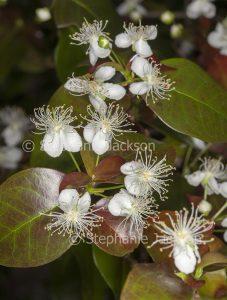 White flowers of Eugenia uniflora, Brazilian Cherry Tree.