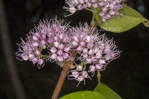 Cluster of pink flowers of Euodia / Melicope elleryana, Corkwood Tree, on dark background, Queensland Australia