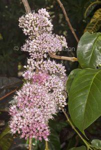 Cluster of pink flowers of Euodia / Melicope elleryana, Corkwood Tree, in Queensland Australia
