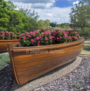 Mass planting of succulent plant, Euphorbia millii, Crown of Thorns, in a container, a wooden boat.