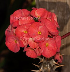 Large red flowers of Euphorbia millii, a cultivar in the Rancho collection, a thorny drought tolerant succulent plant that's common known as Crown of Thorns.