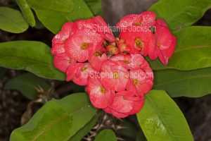 Red flowers of Euphorbia millii, Rancho collection, succulent plant commonly known as Crown of Thorns.
