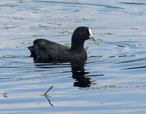 Eurasian Coot, Fulicra atra. on blue water of a lake in an urban park in Maryborough, Queensland.
