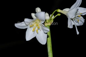 White flowers of Eurycles / Proiphys cunninghamii, Brisbane Lily, on black background, Queensland Australia.