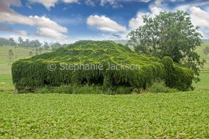 Abandoned farmhouse completely covered with creeper, Cat's Claw vine, in field near Goomeri in Queensland Australia.