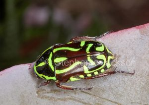 Decorative fiddle / fidldler beetle, Eupoecila australasiae, a scarab beetle, in garden in Queensland Australia