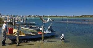 Fisherman with small boat with pelicans nearby at Wallis Lake, Tuncurry, NSW Australia